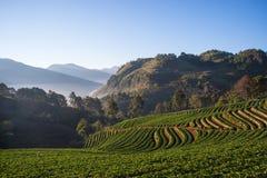 在美丽的草莓农场的早晨 免版税图库摄影