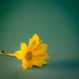 在美丽的菊花黄色flawer的关闭和选择聚焦与阳光作用和软的绿色背景的 免版税库存图片