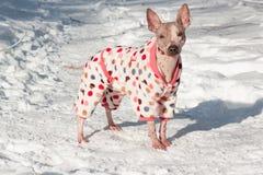 在美丽的衣服的逗人喜爱的美国无毛的狗在白色雪站立 宠物 免版税库存照片