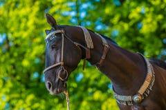 在美丽的黑褐色akhal teke马外形画象  免版税库存照片