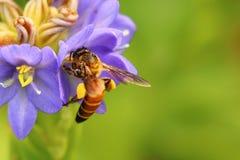 在美丽的lichened花的蜂蜜蜂 免版税库存图片
