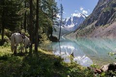 在美丽的Shavlinsky湖附近的白马 库存图片