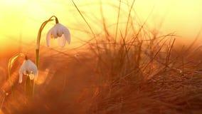 在美丽snowdrop春天花卉生长狂放的金黄阳光 野花惊人的秀丽本质上 股票视频