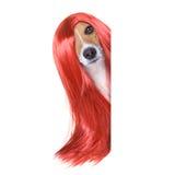 在美发师的修饰狗 库存照片