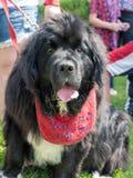 在美国独立纪念日游行的纽芬兰狗 库存图片