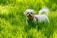 在美国钞票草的白色狗 免版税库存图片