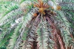 在美好棕榈树的绿色的日期 长的树干枣椰子树 在棕榈树的日期 枣椰子分支与成熟日期 束酒吧 库存照片