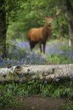 在美好的会开蓝色钟形花的草森林风景图象的马鹿雄鹿与 库存图片