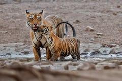 在美好的光的老虎家庭在Ranthambhore国家公园自然栖所  免版税图库摄影