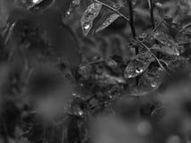 在美好的叶子Cangkuk穿山甲属黑白照片的露水 免版税图库摄影