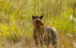 在美好的姿势和绿色背景的孟加拉老虎 免版税库存照片