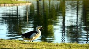 在美好的日出的鸭子 免版税库存照片