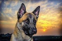在美好的日落的狗画象 库存图片