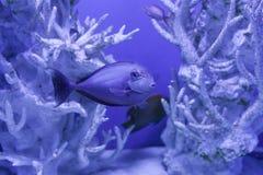 在美好的珊瑚中的Unicornfish 图库摄影