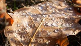 在美好的秋叶宏指令关闭的露水看法 下落的秋天在哪些离开是早晨许多美好的下落  影视素材