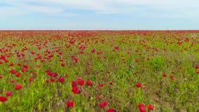 在美好的红色鸦片领域的顶视图 ?? 开花的鸦片的美好的风景自然领域在天空蔚蓝背景的 股票视频