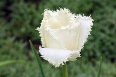 在美好的绿色背景的白色郁金香 免版税图库摄影