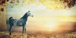 在美好的自然背景的灰色阿拉伯马与大树、叶子和日落 免版税库存图片