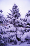 在美好的雪盖下的圣诞树。冬天风景 库存图片