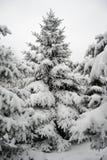 在美好的雪盖下的圣诞树 33c 1月横向俄国温度ural冬天 免版税库存图片