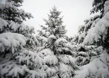 在美好的雪盖下的圣诞树 33c 1月横向俄国温度ural冬天 库存照片