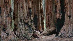 在美洲杉国家公园的巨型美国加州红杉 免版税图库摄影