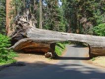 在美洲杉国家公园的隧道树 免版税库存图片