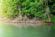 在美洲红树森林上看法在泰国 库存图片
