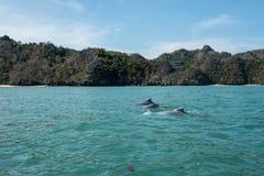 在美洲红树的海豚在Kilim石灰岩地区常见的地形Geoforest,凌家卫岛游览 库存图片