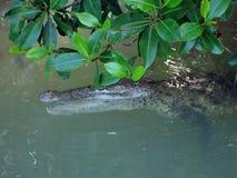 在美洲红树的鳄鱼 库存照片