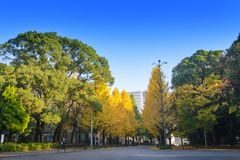 在美济礁津沽寺庙前面的银杏树树在秋天季节 杜松子酒 免版税图库摄影