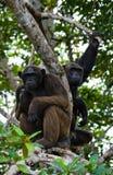 在美洲红树分支的两只黑猩猩 刚果共和国 Conkouati-Douli储备 免版税库存图片