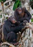 在美洲红树分支的两只黑猩猩 刚果共和国 Conkouati-Douli储备 库存图片