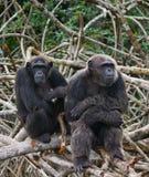 在美洲红树分支的两只黑猩猩 刚果共和国 Conkouati-Douli储备 免版税图库摄影