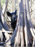在美洲红树树后的狂放的肉猪 图库摄影