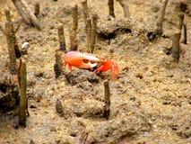 在美洲红树森林的招潮蟹 图库摄影