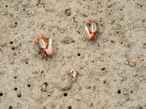在美洲红树森林的招潮蟹 免版税库存照片
