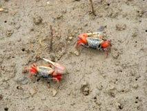 在美洲红树森林的招潮蟹 免版税库存图片