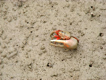 在美洲红树森林的招潮蟹 库存照片