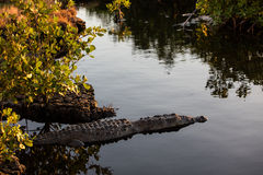 在美洲红树森林边缘的美洲鳄  图库摄影