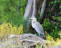 在美洲红树的蓝色苍鹭 免版税库存图片