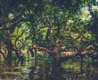 在美洲红树雨林部落Phluk的被充斥的树 柬埔寨 图库摄影