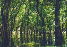 在美洲红树雨林部落Phluk的被充斥的树 柬埔寨 免版税图库摄影