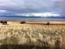 在羚羊海岛的北美野牛 免版税库存照片