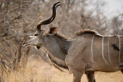 在羚羊的Oxpecker 库存图片