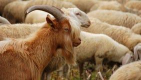 在群的山羊 库存照片