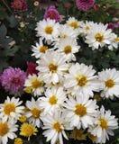 在群的白色菊花花 免版税库存图片