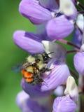 在羽扇豆的橙色被结合的土蜂 免版税图库摄影
