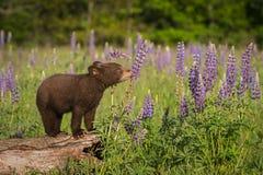 在羽扇豆的黑熊Cub熊属类美洲的嗅 免版税库存照片