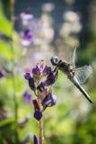 在羽扇豆的蜻蜓 免版税库存照片